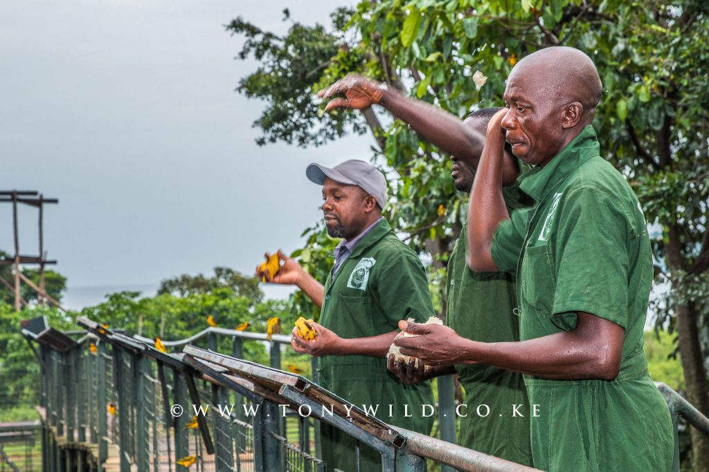 Papa and team mates feeding the chimps at the platform in Ngamba Island